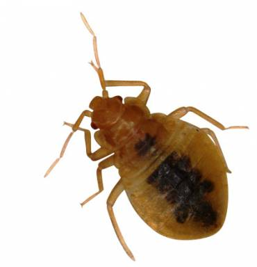 Bed Bugs in Schools – Problems in Canada