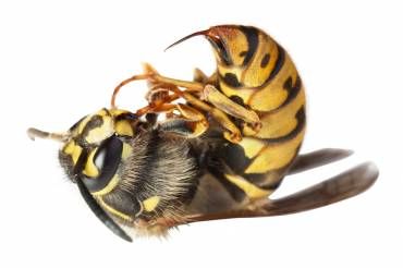 Why We Should All Respect Wasps – 5 Fantastic Reasons