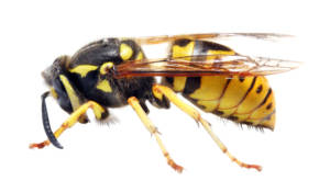 Yellow-Jacket-Wasps