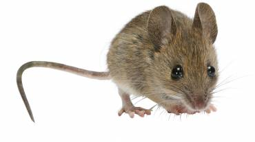 How To Clean Mouse Droppings – The Right Way!