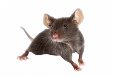 Calgary BC Rat Infestation On The Rise