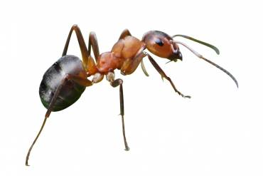 The Spring Carpenter Ant Invasion