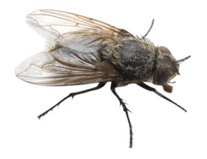 owl-pest-control-Cluster-Flies