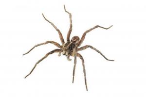 Calgary_Spiders